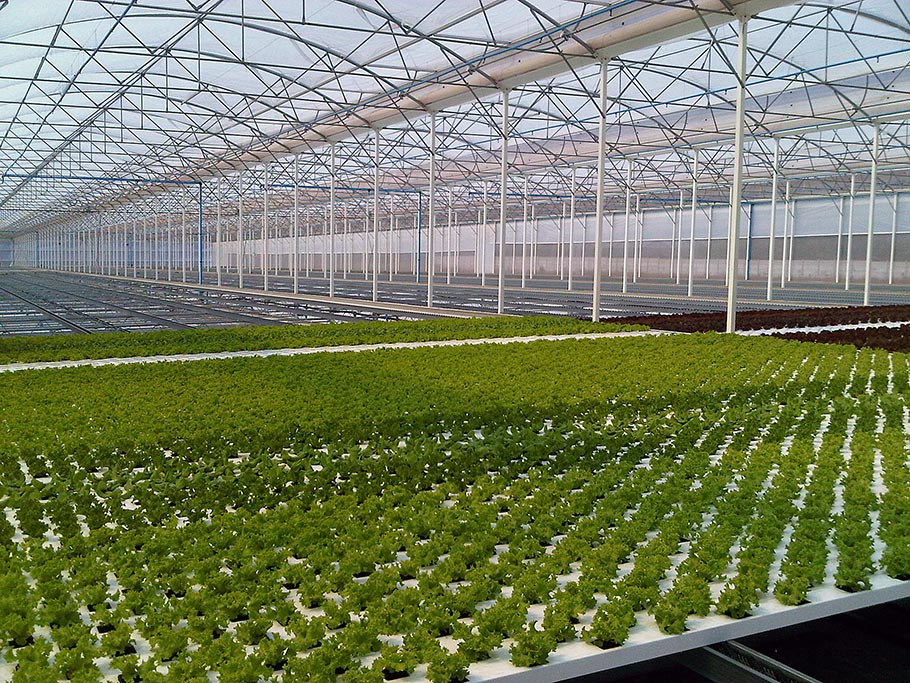 Culture de salades hydroponique - Chambre de culture hydroponique ...